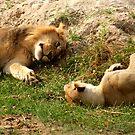 Lion Love - Tarangiri National Park, Tanzania by timstathers