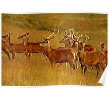 Red Deer Herd Poster
