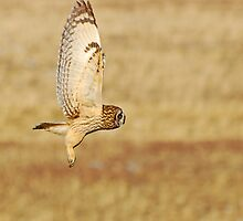Short Eared Owl by Ron Kube