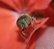 Hover-fly (Eristalinus taeniops) by Rick Fin