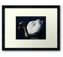 Up close and personal. A male mute swan. Framed Print