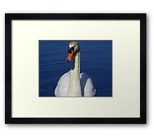 Mute swan looking for a handout. Framed Print