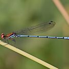 Red-eyed Argia by JimJohnson