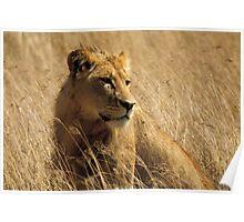 Lion (Panthera leo) Poster
