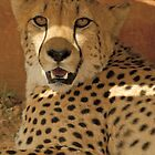 Cheetah (Acinonyx jubatus) by Konstantinos Arvanitopoulos