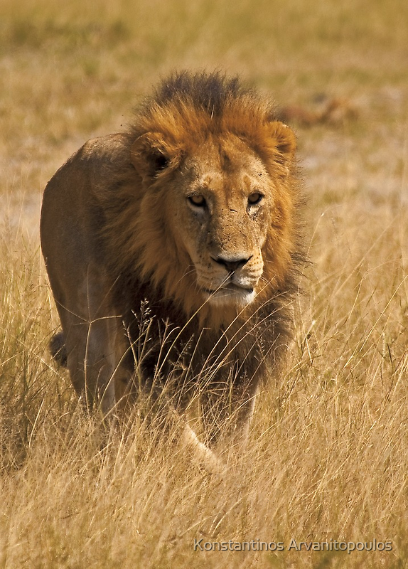 Mature male lion by Konstantinos Arvanitopoulos