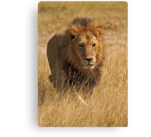 Mature male lion Canvas Print