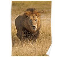 Mature male lion Poster