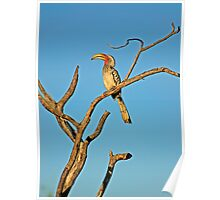 Southern Yellow-billed Hornbill (Tockus leucomelas) Poster