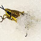 Spotted Mountain Grasshopper by helmutk