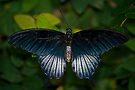 Papilio Memnon, The Great Mormon Swallowtail  by RatManDude