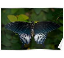 Papilio Memnon, The Great Mormon Swallowtail  Poster