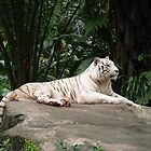Whte Siberian tiger laying on rock  by brevans