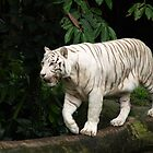 White siberian tiger  by brevans