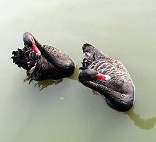 Black Swans, Yangzhou Zoo, China by DaveLambert