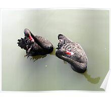 Black Swans, Yangzhou Zoo, China Poster