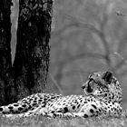 Cheeta by rockcampbell