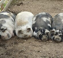 sleeping pigs by suebeauchamp