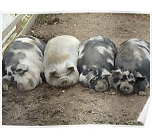 sleeping pigs Poster