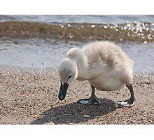 Swan Baby Photographic Print