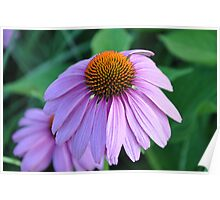 purple cone flower Poster