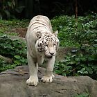 White siberian tiger stood on rock  by brevans