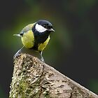 Great Tit by M G  Pettett