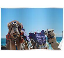 Camel Curiosity Poster