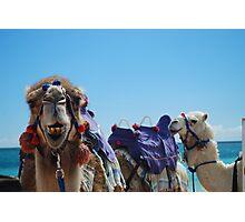 Camel Curiosity Photographic Print