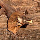 Frill-necked Lizard, Northern Territory, Australia by Erik Schlogl