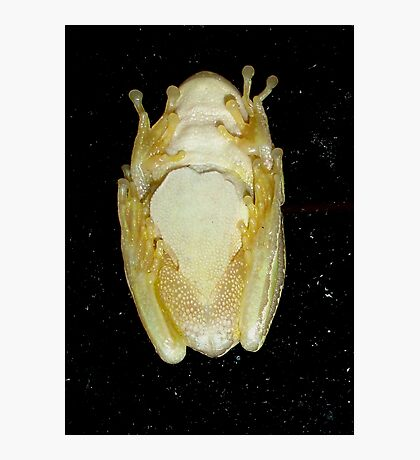 Underbelly The Soft Underside or Abdomen Of A Tree Frog. Photographic Print