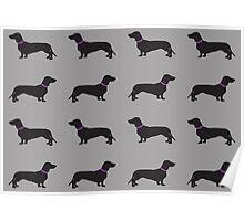 Black Sausage Dogs Pink Collar Poster
