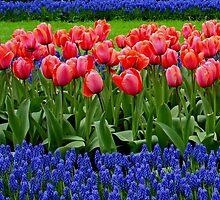 Tulip lines by Lindie Allen