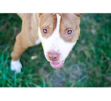 pit bull gaze Photographic Print
