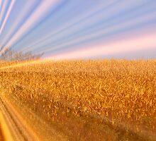 Dawning Lite Over The corn field by Linda Miller Gesualdo