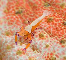 Emperor shrimp  by Stephen Colquitt