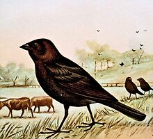 Cowbird by Ernest Seton Thompson by goldenmenagerie