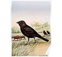 Cowbird by Ernest Seton Thompson Poster