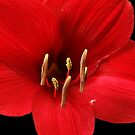 Hippeastrum #4 by Bevellee