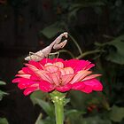 Praying-mantis on Red Zinnia by sandycarol