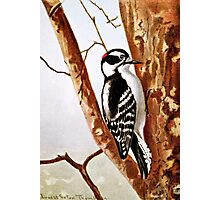 Downy Woodpecker Drawing Photographic Print