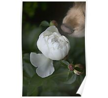 Candy and her Peony Poster