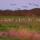 Sand cranes  by the57man