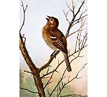 Field Sparrow Singing Photographic Print