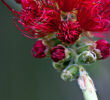 Callistemon (bottle brush) Out front Halinka court tip of opening bud 2009 11023115 by Fred Mitchell