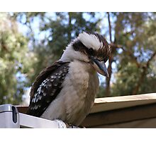 Hey you down there! Laughing Kookaburra. Photographic Print