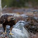 Golden Eagle by Per E. Gunnarsen