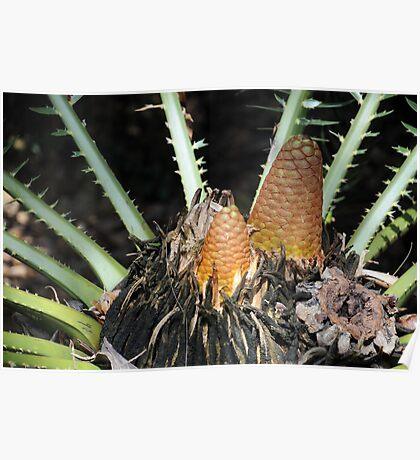 Encephalartos pterogonus Poster