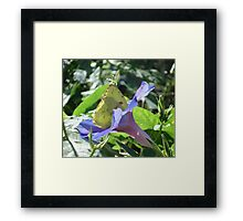 Sulphur Butterfly  in Morning Glory 2 Framed Print