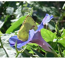 Sulphur Butterfly  in Morning Glory 2 Photographic Print